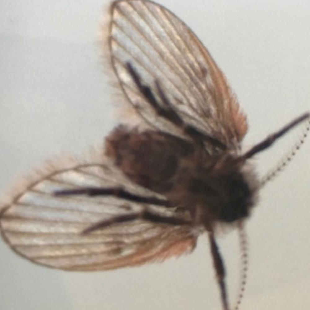 SMALL FLIES / DRAIN FLIES /FUNGUS GNATS SMALL FLIES / DRAIN FLIES /FUNGUS GNATS fly body1